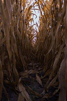 Cornfield, Crop, Farm, Field, Path, Trail, Corn, Plants