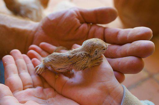 Prairie Dog, Baby Animal, Hands, Pup, Young Animal