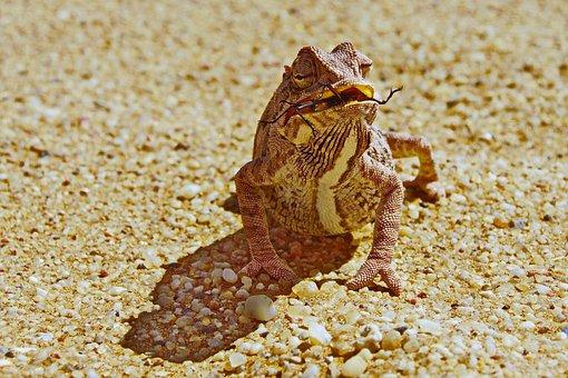 Chamälion, Desert, Namibia, Reptile, Eat, Animal