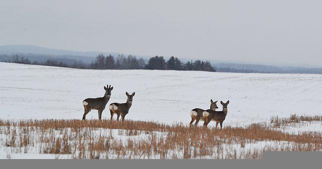 Roe Deer, Nature, Wildlife