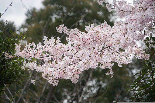 Cherry Blossoms, Old Trees, In Japan, Single Cherry