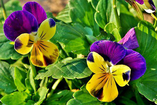 Small Pansy, Purple, Yellow, Small Flowers, Garden