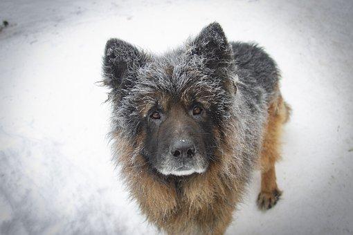 German Shepherd, Dog, Snow, Pet, Animal, Domestic Dog