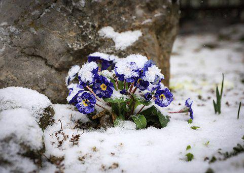 Primrose, Flowers, Winter, Frost, Snow, Ice, Snowy