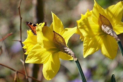 Daffodils, Daffodil, Spring, Yellow, Spring Flowers
