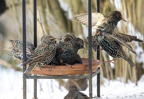 Animals, Birds, Stare, Songbird, Winter, Feeding