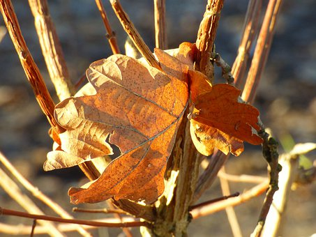 Dry Leaves, Branch, Tree, Sunlight, Withered