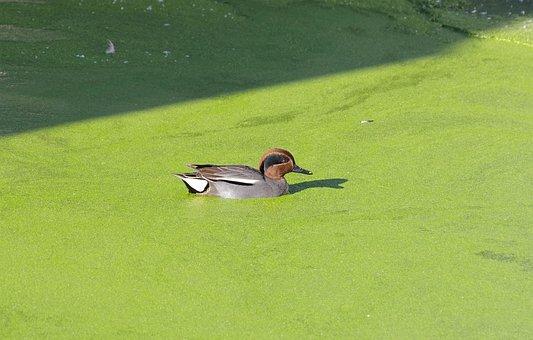 Duck, Mandarin Ducks, Female, Bird, Animal, Water Bird