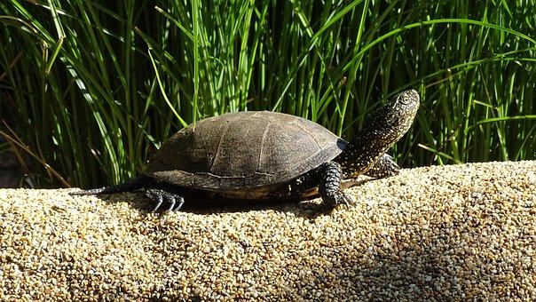Swamp, Turtle, Lake, Water, Nature, Reptile, Armored