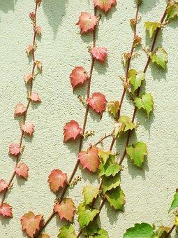 Wild Grapes, Parthenocissus, Suction Cup, Trailer