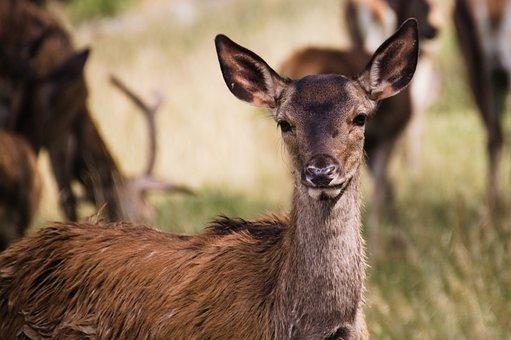 Roe Deer, Deer, Wildlife, Forest, Baby, Animal