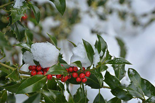 Ilex, Fruits, Red, Holly, Evergreen, Berries, Winter