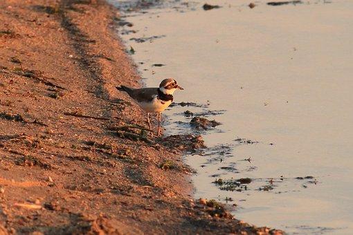 Little Ringed Plover, Bird, Plover, Charadrius Dubius