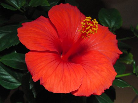 Hibiscus, Blossom, Bloom, Plant, Marshmallow, Mallow