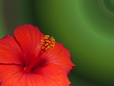 Marshmallow, Hibiscus, Blossom, Bloom, Flower, Plant