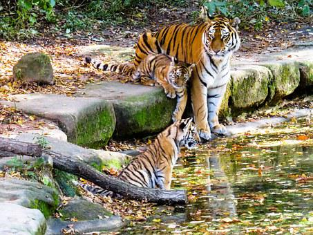 Tiger, Tiger Cub, Cute, Nuremberg, Zoo, Water, Drink