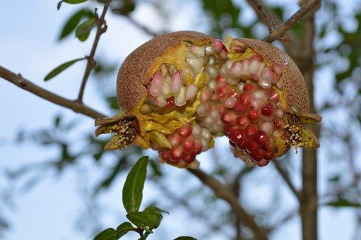 Pomegranate, Fruit, Puglia, Agriculture, Cultivate