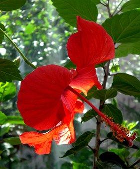 Hibiscus, Mallow, Marshmallow, Flower, Blossom, Bloom