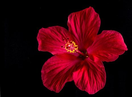Hibiscus, Blossom, Bloom, Flower, Red, Marshmallow