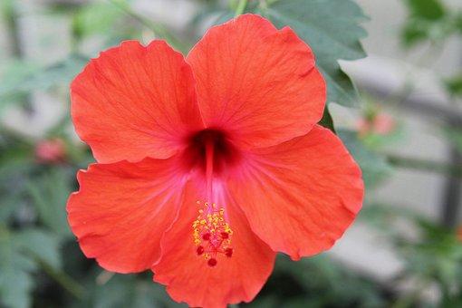 Hibiscus, Blossom, Bloom, Yellow, Marshmallow, Mallow