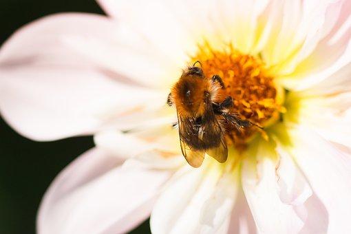 Dahlia Hortensis, Hummel, Blossom, Bloom, Macro, Insect