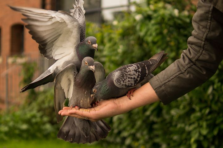 Pigeon, Hand, Person, Feeding, Wings, Bird, Dove, Love