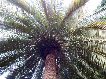 Palm, Plant, Subtropical, Wedel, Low Angle Shot