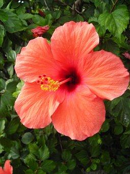 Hibiscus, Blossom, Bloom, Orange, Flower, Mallow
