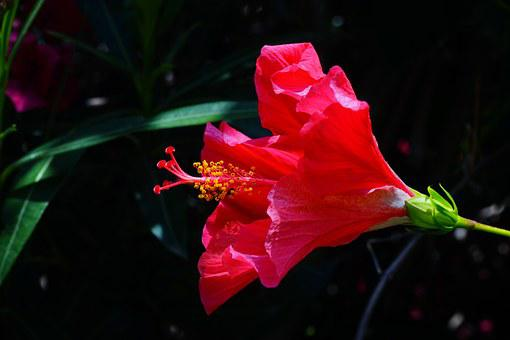Hibiscus, Flower, Blossom, Bloom, Red, Marshmallow