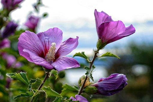 Blossom, Bloom, Hibiscus, Marshmallow, Mallow, Flower
