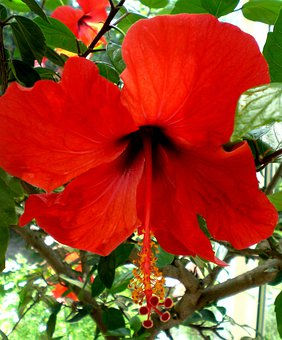 Hibiscus, Mallow, Marshmallow, Blossom, Bloom