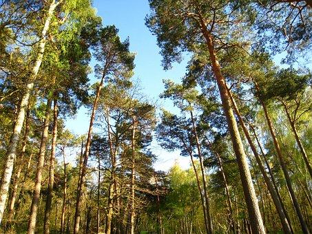 Pine, Pine Trees, Trees, Low Angle Shot, Himmeblau