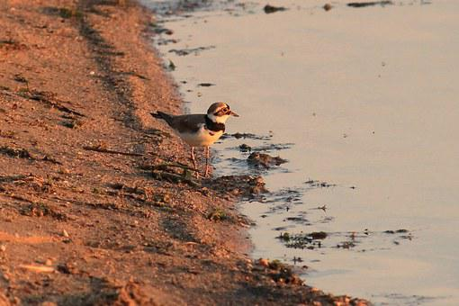 Little Ringed Plover, Bird, Plover, Charadrius Dubius