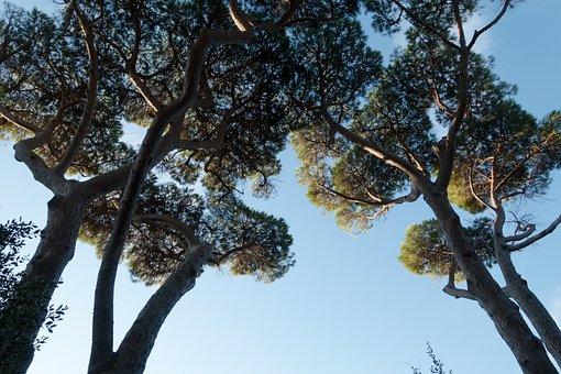 Pine, Forest, Sky, Blue, Low Angle Shot, Tree, Maremma