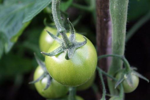 Tomatoes, Green, Vegetable, Not Ripe, Food, Healthy
