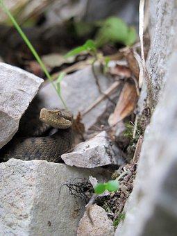 Asp Viper, Juvenile, Alps