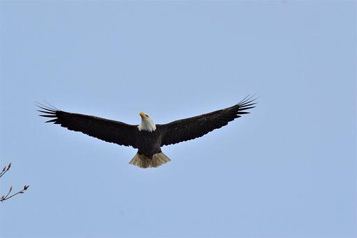 American Bald Eagle, Bird, Predator, Wildlife, Symbol