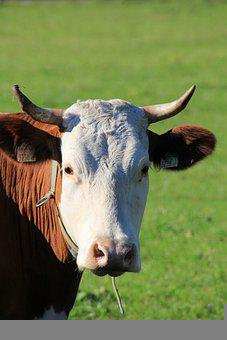 Cow, Beef, Horns, Cows, Farm, Cattle, Animal