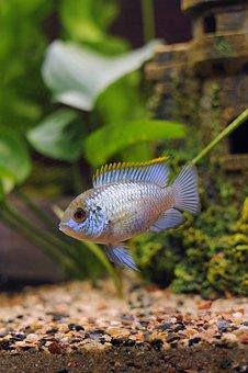 Blue Acara, Andinoacara Pulcher, Aquarium, Underwater