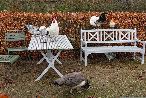Hens, Poultry, Table, Bench, Hen, Bird, Outdoor Seating