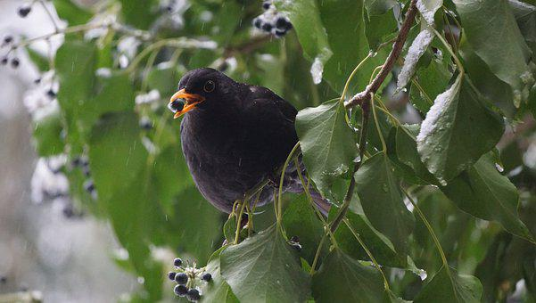 Blackbird, Winter, Ivy, Berry, Turdus Merula, Bird