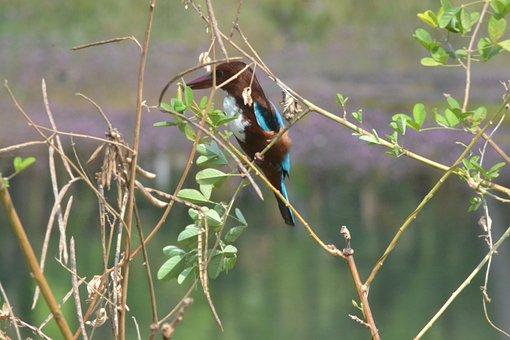 Kingfisher, Bird, Beak, Wings, Legs, Wildlife, Nature