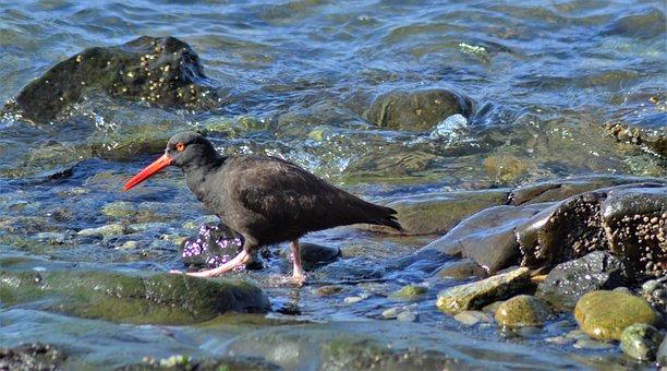 Oyster Catcher, Bird, Nature, Beak, Oyster-catcher