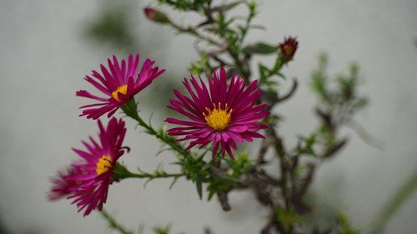 Aster, Violet, Herbstastern, Flower, Nature, Blossom
