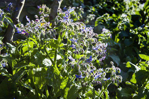 Nature, Borage, Garden, Plant, Summer, Blossom, Bloom