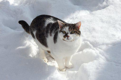 Winter, Cat, Black And White Cat, Cat In The Snow, Snow