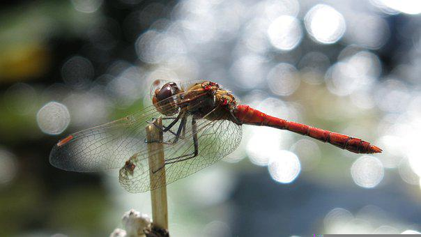 Darter Sympetrum, Dragonfly, Insect, Animal