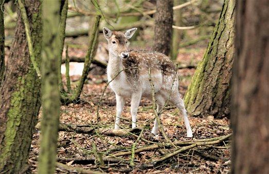 Deer, Animal, Wildlife, Nature, Mammal, Doe, Forest