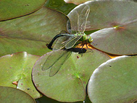 Dragonfly, Water Lily, Mare, Ponte