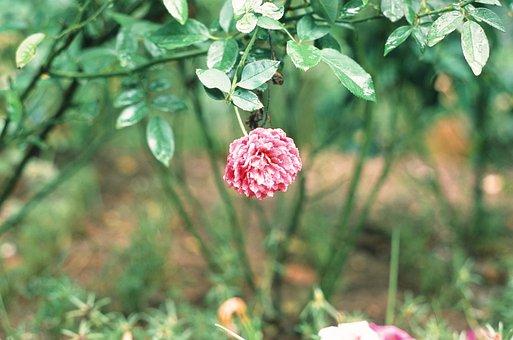 Flower, Roses, Film